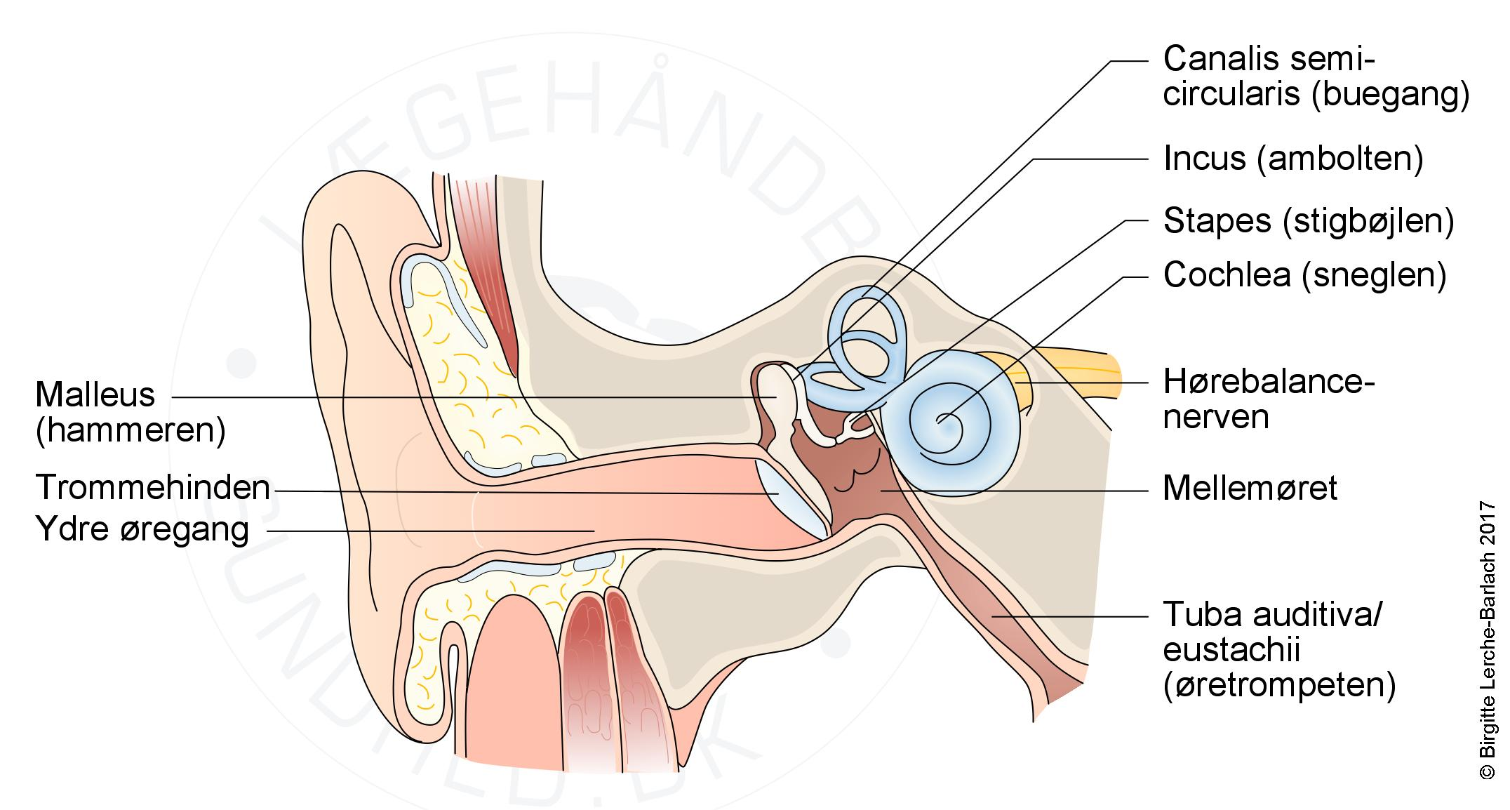 mellemøre, mellemørebetændelse, otitis media, sand og falsk, 8 sandheder om mellemørebetændelse, SOM, AOM
